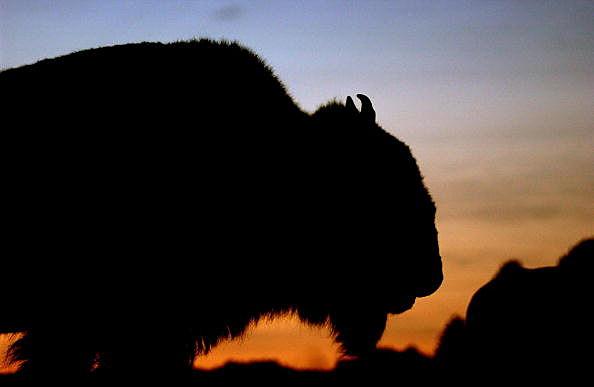 Bison roam the Black Hills of South Dakota