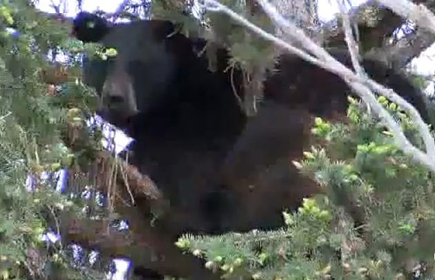 The Three Bears Visit Missoula Montana Fish Wildlife And