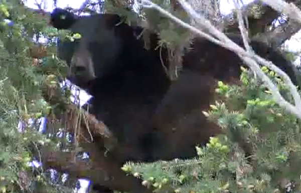 The three bears visit missoula montana fish wildlife and parks