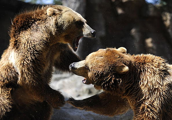 Yellowstone Grizzly Bear Populations Grow; Is Delisted as an Endangered Species